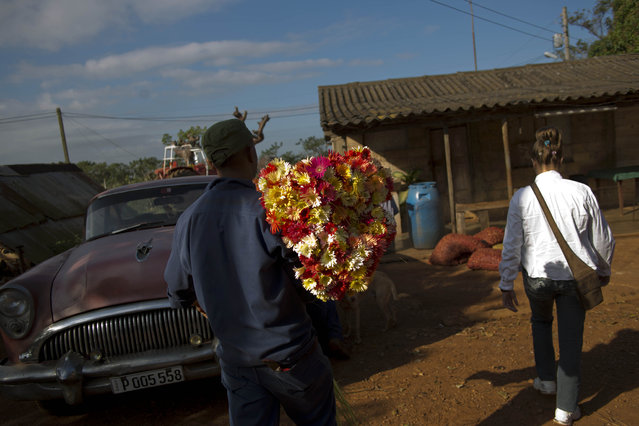 In this Thursday, January 29, 2015 photo, a supplier carries a bunch of fresh cut flowers for the self-employed flower vendor Yaima Gonzalez Matos, 33, at a farm in San Antonio de los Banos, Cuba. She says she works only two days a week because there isn't enough demand to support more business. But often those days last 12 hours, and she gets home long after her mother has bathed her son and put him to bed. (Photo by Ramon Espinosa/AP Photo)