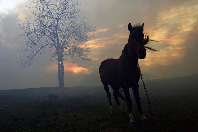 A horse is tethered in a field as flames are seen in the background as forest fires hit Viernoles, Cantabria, northern Spain, 28 December 2015. Forest fires are raging across the regions of Asturia and Cantabria in northern Spain. Northern Spain has been unseasonally warm and there has been very little rain recently. (Photo by Pedro Puente Hoyos/EPA)