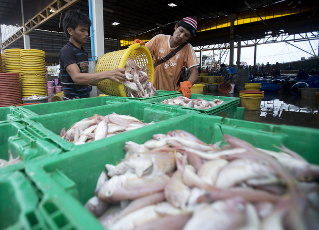 In this June 20, 2014, file photo, migrant workers separate freshly caught fish by size at a fish market in Samut Sakhon Province, west of Bangkok. Thailand reported more than 500 new coronavirus cases on Saturday, Dec. 19, 2020, the highest daily tally in a country that had largely brought the pandemic under control. (Photo by Sakchai Lalit/AP Photo/File)