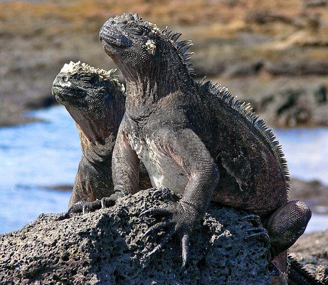 South America – The Galapagos; Marine iguanas. (Photo by jasbond007)