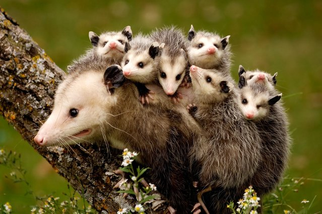 Opossums on their mothers back at a game reserve in Central Minnesota, USA, on September 2, 2013. (Photo by Caters News Agency)