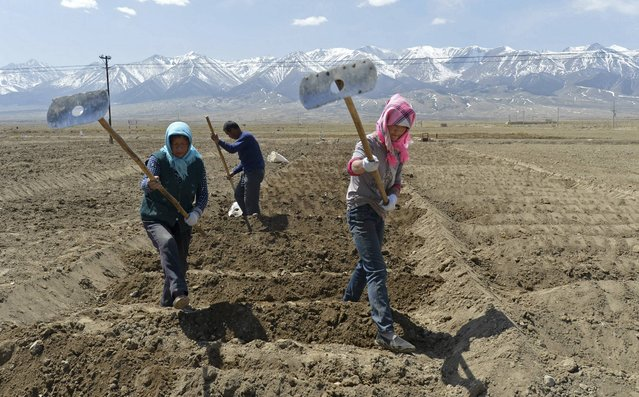 Uighur farmers hoe their farmlands to prepare for growing potatoes in Barkol Kazahk Autonomous county, Xinjiang Uighur Autonomous Region in this May 4, 2014 file photo. (Photo by Reuters/China Daily)