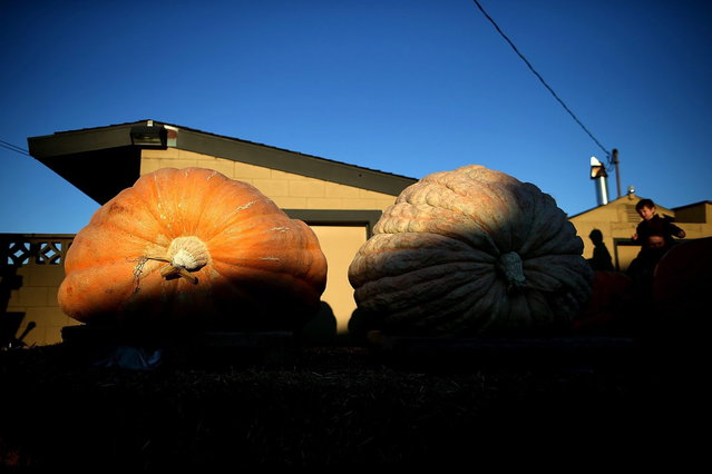 Giant pumpkins sit before being weighed during the 40th Annual Safeway World Championship Pumpkin Weigh-Off on October 14, 2013 in Half Moon Bay, California. Gary Miller of Napa, California won the 40th Annual Safeway World Championship Pumpkin Weigh-Offgigantic pumpkin with a gigantic pumpkin that weighed in at 1,985 pounds. Miller took home a cash prize of $11,910, or $6.00 a pound. (Photo by Justin Sullivan/AFP Photo)