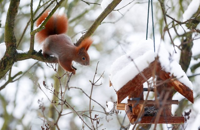 A red squirrel sits on a tree next to a bird feeder after snowfall in Berlin, Germany, January 18, 2016. (Photo by Hannibal Hanschke/Reuters)