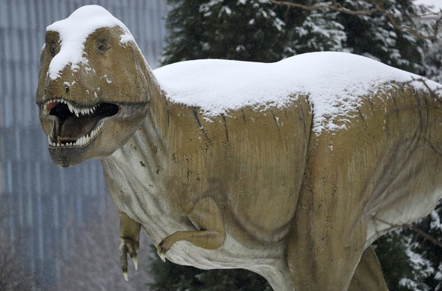 A snow covered T-Rex life size dinosaur sculpture is pictured at the Senckenberg Natural History Museum in Frankfurt, Germany, January 10, 2017. (Photo by Kai Pfaffenbach/Reuters)