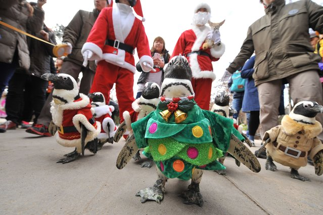 Penguins dressed in costumes are paraded at an amusement park for a promotional event ahead of Christmas in Yongin, south of Seoul, on December 18, 2013. Everland, South Korea's largest amusement park, organized the event to launch its Christmas festival season. (Photo by Woohae Cho/AFP Photo)