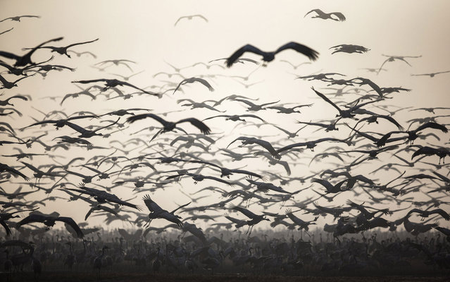 A flock of migrating cranes is seen at the Hula Lake Ornithology and Nature Park in northern Israel, on December 19, 2013. The Hula Valley is a stopping point for hundreds of species of birds along their migration route between the northern and southern hemispheres. (Photo by Nir Elias/Reuters)