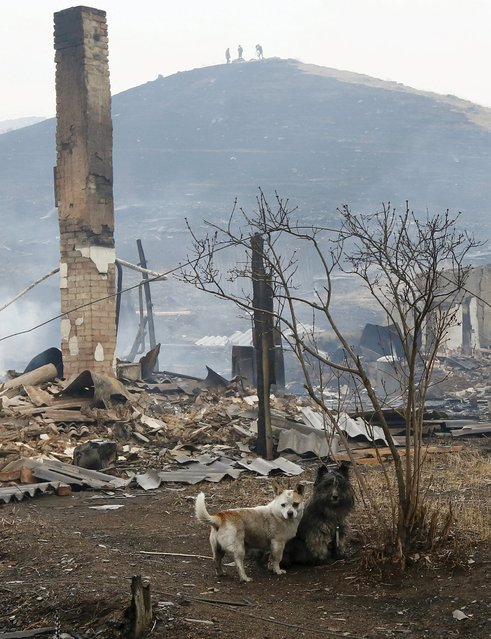 Dogs are seen near the debris of a burnt building in the settlement of Shyra, damaged by recent wildfires, in Khakassia region, April 13, 2015. (Photo by Ilya Naymushin/Reuters)