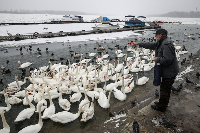 A man feeds swans in the frozen Danube river in Belgrade, Serbia, January 17, 2017. (Photo by Marko Djurica/Reuters)