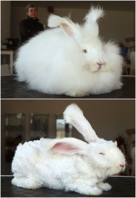 A combination of photographs shows angora rabbit Emilson before and after it was clipped at Georgia Spausta's small farm in Herzogbirbaum, Austria March 10, 2015. Spausta produces hand-spun yarn from some 25 angora rabbits which is sold in small scale to enthusiasts or at local markets. The rabbits are clipped four times a year, each time giving some 300 grams of wool, about the amount needed to knit one pullover. (Photo by Heinz-Peter Bader/Reuters)