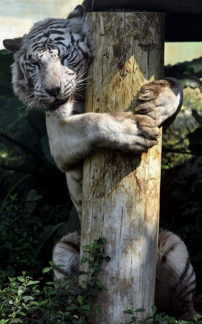 This picture taken on April 10, 2019 shows a white bengal tiger hugging a wooden structure at Loofoo Village zoo in Hsinchu, northern Taiwan. (Photo by Sam Yeh/AFP Photo)