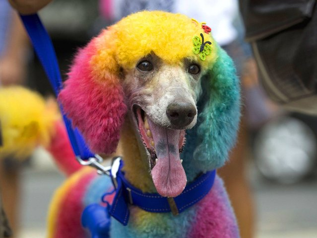 "A multicolored painted poodle is seen during the ""Blocao"" dog carnival in Rio de Janeiro. (Photo by Silvia Izquierdo/AP Photo)"