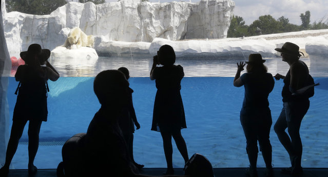 In this July 17, 2013 file photo, visitors to the Detroit Zoo watch as Nuka, an 8-year-old polar bear snacks on a frozen treat of fish incased in ice at the zoo in Royal Oak, Mich. (Photo by Carlos Osorio/AP Photo)
