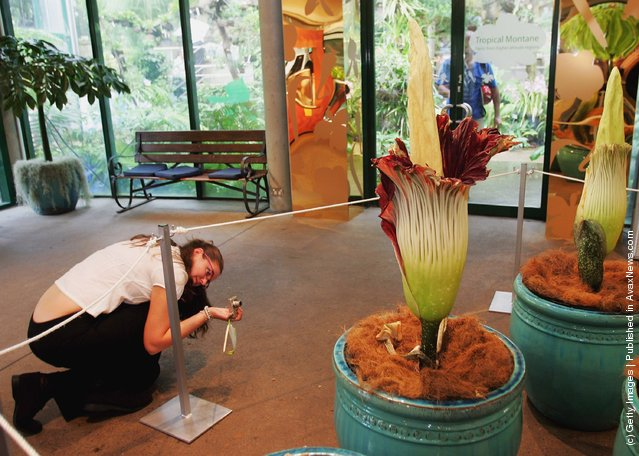 A visitor takes a picture of the Titan Arum (Amorphophallus titanum), also known as the Corpse Flower