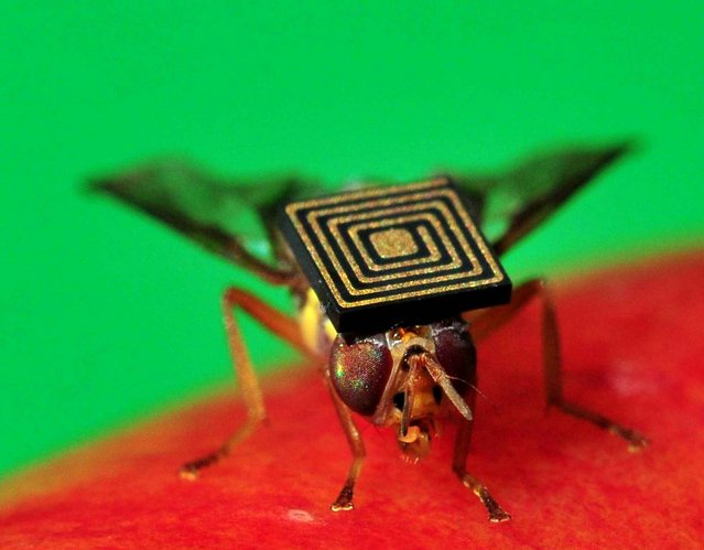 A handout photo obtained from CSIRO on March 21, 2014 shows a Queensland fruit fly with a 1.5-millimetre sensor attached to its back. Scientists have hit on a new way to combat one of Australia's worst pests – create a male-only line. The eight millimetre-long Queensland fruit fly is so prevalent and adept at destroying crops it is threatening the nation's 6.2 billion USD (6.9 billion AUSD) horticultural industry. (Photo by AFP Photo/CSIRO)