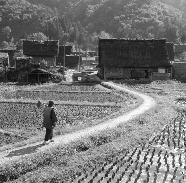 1950: A woman worker passes through rice fields in a rural Japanese village. The large thatched house in the background will house about 25 people, and is typical to the region