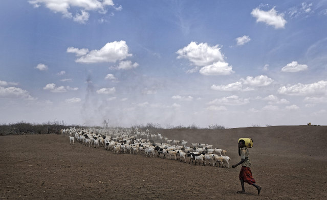 A herder drives his animals away after watering them at one of the few watering holes in the area, near the drought-affected village of Bandarero, near Moyale town on the Ethiopian border, in northern Kenya Friday, March 3, 2017. (Photo by Ben Curtis/AP Photo)