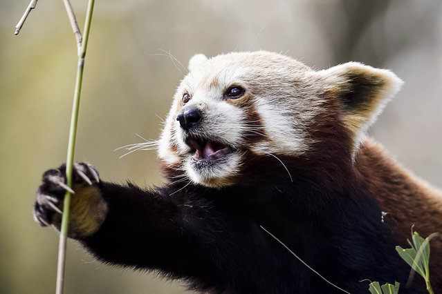 A red panda feeds on bamboo in the sunshine at Bristol Zoo Gardens, England on April 29, 2016. (Photo by Ben Birchall/PA Images/Startraksphoto.com)