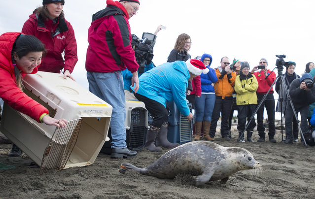 Seal pups are released back into the ocean from Iona Beach in Richmond, British Columbia, Tuesday, December 18, 2018. The seals, who were rescued following different injuries throughout the year, were nursed back to health by the Vancouver Aquarium Marine Mammal Rescue Center. (Photo by Jonathan Hayward/The Canadian Press via AP Photo)