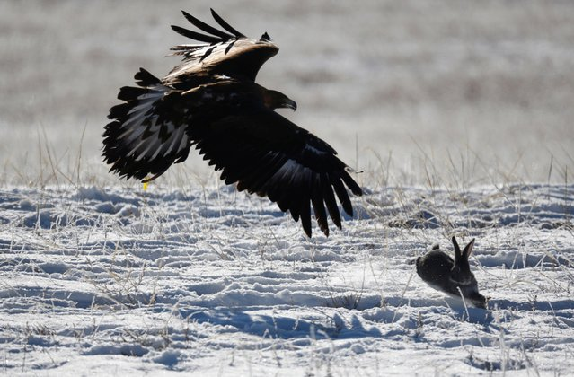 A tamed golden eagle chases a rabbit during a traditional hunting contest outside the village of Kaynar in Almaty region, Kazakhstan on December 8, 2019. (Photo by Pavel Mikheyev/Reuters)