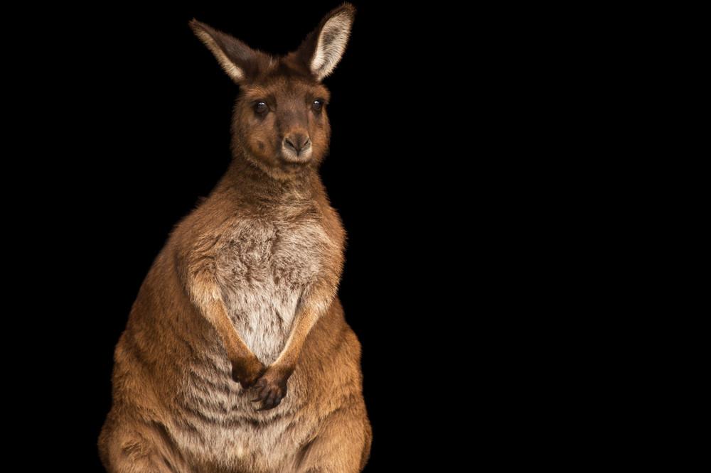 Australian Native Wildlife