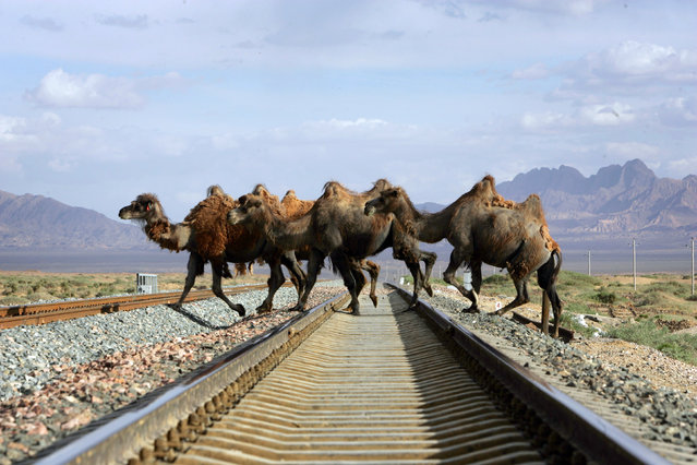 A row of camels cross a track of the Qinghai-Tibet Railway in Delingha County, China June 15, 2006. (Photo by Joe Chan/Reuters)