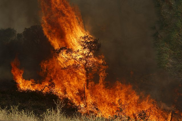 Flames from the Jerusalem Fire consume a tree in Lake County, California August 12, 2015. (Photo by Robert Galbraith/Reuters)