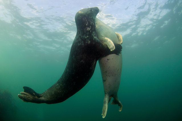 Playful seals. The pair of playful seals swim around each other. Two passionate seals were captured on camera in a tender embrace by underwater photographer Robert Bailey, 50, near the Farne Islands off the Northumberland coast, UK. (Photo by Robert Bailey/Medavia)