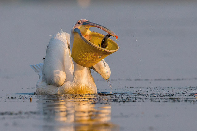 Daily basket by Ionel Onofras, Romania. Category: best portrait. Great white pelican (Pelecanus onocrotalus) Danube delta, Romania. (Photo by Ionel Onofras/2017 Bird Photographer of the Year Awards)