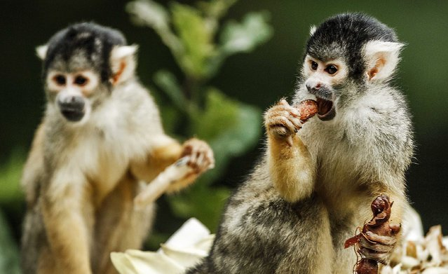 Monkeys are treated with special cake during the celebration of the 45th birthday of Zoo Apenheul in Apeldoorn, The Netherlands, 12 July 2016. (Photo by Remko De Waal/EPA)