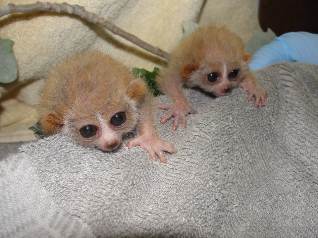 Adorable Pygmy Slow Loris twins receive their first medical examination. The tiny, nocturnal primates were born August 22 at El Paso Zoo, Texas. The unnamed pair where pictured during their first medical exam before they were spotted playing with their mother Kym Ly. The male weighed in at 52.4 grams and his sister, a petite 43.5 grams. (Photo by Splash News/El Paso Zoo)