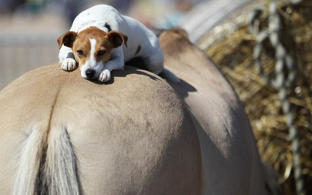 A dog lays on the back of a horse in Ouistreham, northwestern France, on August 20, 2014. (Photo by Charly Triballeau/AFP Photo)