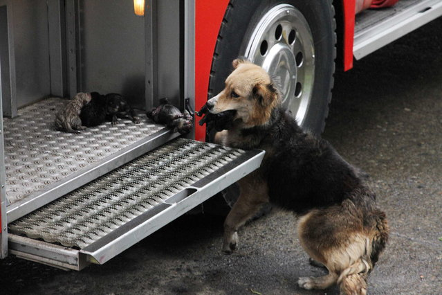 Amanda, a female dog, carries one of her five puppies from the flames that destroyed the house where she lived and places them in a fire truck in Temuco, Chile, on August 9, 2012. One of the pups died due to severe injures caused by the fire. (Photo by Jose Monsalve/AP Photo/Diario El Austral de La Araucaria)