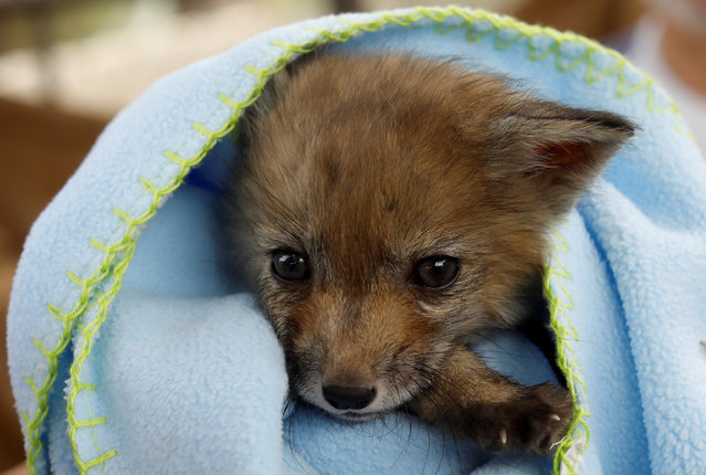 A female baby fox wrapped in a blanket is seen at the Animal Protective Association of Ronda (ARPA) after being found walking along a street by a villager in the village of El Gastor, at the province of Cadiz, near Ronda, during a lockdown amid the coronavirus disease (COVID-19) outbreak, in Ronda, Spain, May 7, 2020. (Photo by Jon Nazca/Reuters)