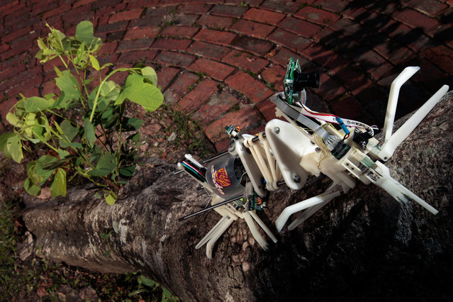"A robot named ""Treebot"", developed by the Chinese University of Hong Kong, climbs up a tree in Hong Kong, on June 20, 2011. Treebot has two grippers that dig into bark and allow the device to wriggle up a tree like a caterpillar. It weighs less than 1 kg (2.2 lbs), can carry a camera and is designed to climb trees in place of humans, to perform health checks, reported the South China Morning Post. (Photo by Tyrone Siu/Reuters)"