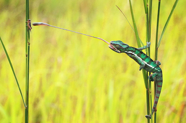 Chameleon lunch by Shikhei Goh