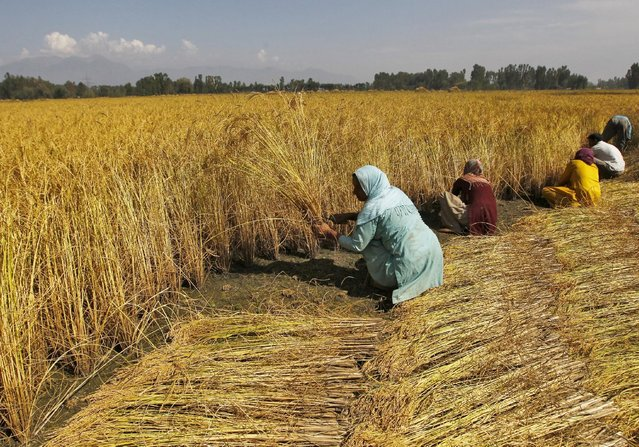 Kashmiri farmers harvest paddy crops on the outskirts of Srinagar September 14, 2015. India's wholesale prices tumbled for a tenth straight month in August, pressured by falling fuel costs, bolstering prospects of an interest rate cut by the central bank later this month. (Photo by Danish Ismail/Reuters)