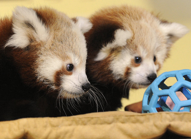 Red panda cubs examine a toy at the Lincoln Children's Zoo, in Lincoln, Neb., Tuesday, October 14, 2014. The zoo has named the cubs Carson and Willa after famous Nebraskans Johnny Carson and Willa Cather. (Photo by Eric Gregory/AP Photo/The Journal-Star)