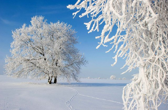 Trees are covered in snow and hoar frost on December 30, 2010 in Sieversdorf, Germany. (Photo by Patrick Pleul/AFP Photo)