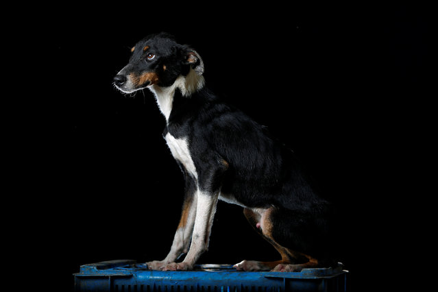 "Lucho is pictured at the Famproa dogs shelter in Los Teques, Venezuela August 16, 2016. ""Someone left him with his three brothers in a cardboard box outside the shelter a year and a half ago. Two of them died and one was adopted by a family. He is a favorite at the shelter but he is an escape artist, he has the ability to get out of anywhere"", said Maria Silva who takes care of dogs at the shelter. (Photo by Carlos Garcia Rawlins/Reuters)"