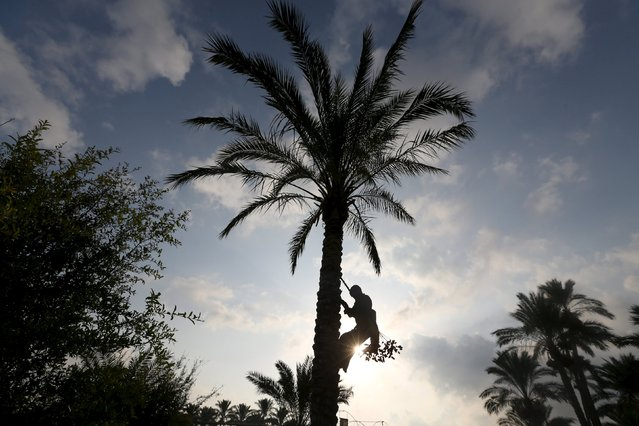 A Palestinian farmer harvests dates from a palm tree in Khan Younis in the southern Gaza Strip October 4, 2015. (Photo by Ibraheem Abu Mustafa/Reuters)