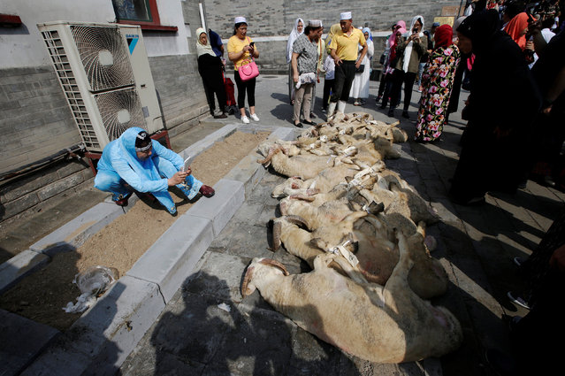 A woman takes pictures of the goats prepared for sacrifice during Eid al-Adha festival at Niujie mosque in Beijing, China September 12, 2016. (Photo by Jason Lee/Reuters)