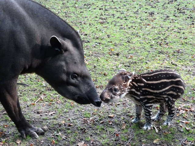 Undated handout photo issued by the Cotswold Wildlife Park of baby Tapir Lolita, with her mother Cali, Lolita  is the first Tapir born at the Park since 2006. (Photo by Cotswold Wildlife Park/PA Wire)