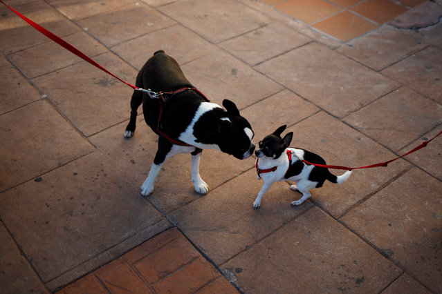 Dogs play before being blessed by a priest outside San Anton Church in the neighborhood of Churriana, Spain on January 17, 2018. (Photo by Jon Nazca/Reuters)