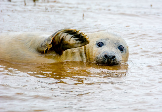 Whilst shooting the seal playing it decided to give me a wave for the camera pictured by Adam White for the Comedy Wildlife Photo Awards 2016, Donna Nook, November 2015. (Photo by Adam White/Barcroft Images/Comedy Wildlife Photo Awards)