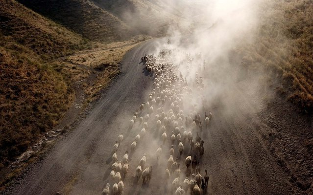 Sheep rise dust on the way of being brought to the highlands on the foothills of Mount Nemrut during sunset in Tatvan district of Bitlis, Turkey on August 05, 2020. (Photo by Ahmet Okur/Anadolu Agency via Getty Images)