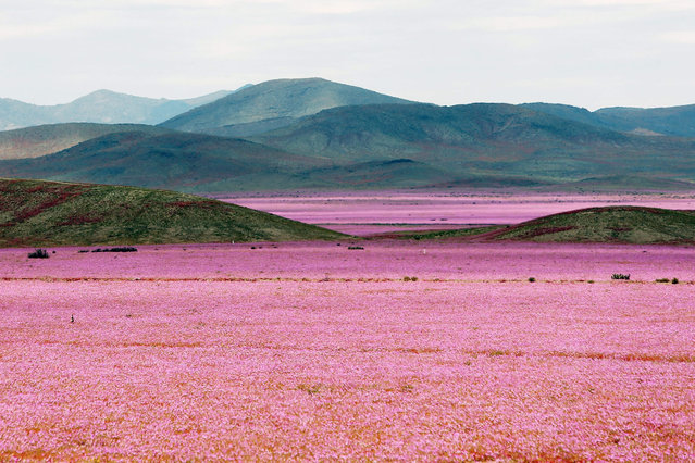 A picture made available on 25 October 2015 of a general view over a mallow field in the Atacama region, 750 kilometers north of Santiago de Chile, Chile, 21 October 2015. Every five to seven years, the arid Atacama desert becomes a mallow colored flower carpet, as the amount of rain that came down over the hostile northern land during the last months led to the most spectacular blossoming of the past 18 years. (Photo by Mario Ruiz/EPA)