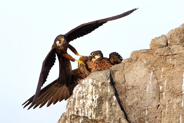 Winner – 2020, Rising Star Portfolio: Eleonora's gift by Alberto Fantoni, Italy. On the steep cliffs of a Sardinian island, a male Eleonora's falcon brings his mate food – a small migrant, probably a lark, snatched from the sky as it flew over the Mediterranean. (Photo by Alberto Fantoni/Wildlife Photographer of the Year 2020)