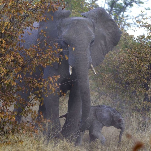 Mission accomplished: Elephant, 1. Hyenas, 0. The baby calf safe with its parent. (Photo by Jayesh Mehta/Caters News)