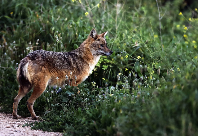 A Golden Jackal (Canis aureus) is seen in a field in the village of Kfifane, north of Beirut, on March 26, 2018. Golden jackals strongly resemble wolves but they are much smaller. They are mostly nocturnal and known to be opportunistic feeders. (Photo by Joseph Eid/AFP Photo)